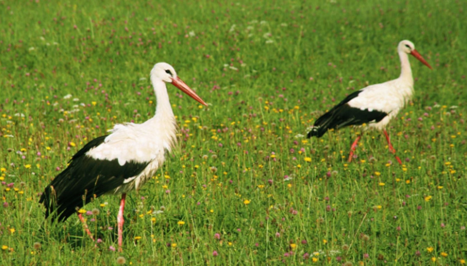 Storks are a common sight in Poland